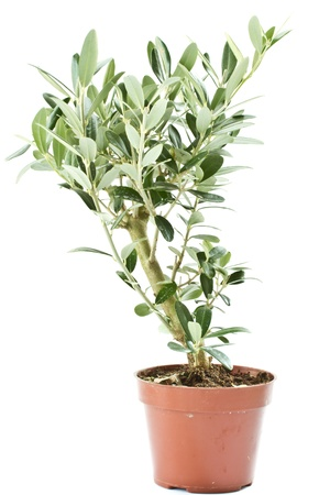 plant antioxidants: Olive tree in a pot isolated on a white background