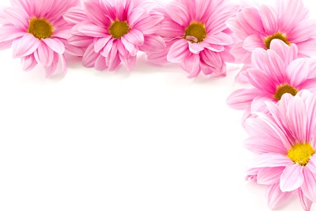 Beautiful blooming pink flowers on a white background photo