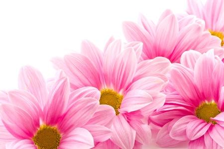 Mooie bloeiende roze bloemen op een witte achtergrond