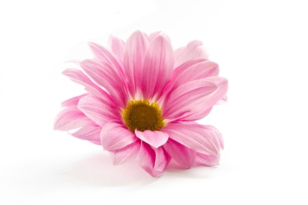 blooming beautiful pink flower isolated on white background photo
