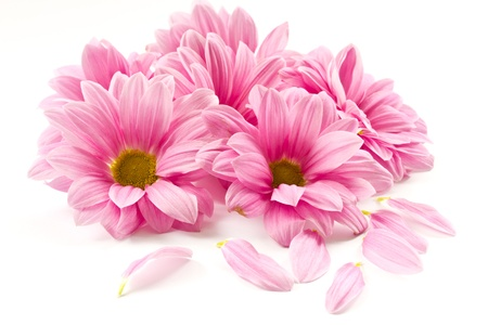 closeup of pink daisy with: blooming beautiful pink flower isolated on white background