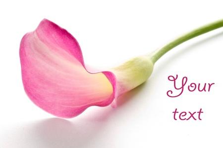 Beautiful pink calla on a white background photo