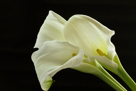 beautiful white calla lilies on a black background photo