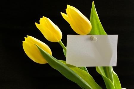 beautiful yellow tulips on a black background photo