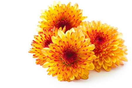 crisantemos: naranja crisantemo aisladas sobre un fondo blanco