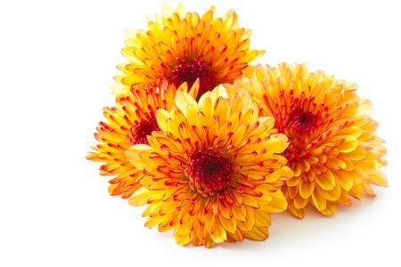 oranje chrysanthemum geïsoleerd op een witte achtergrond Stockfoto