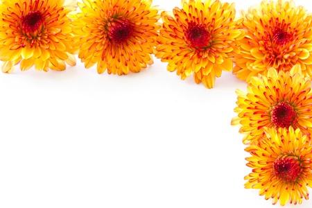 orange chrysanthemum isolated on a white background photo
