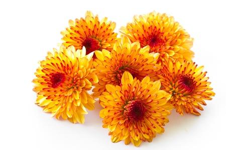 橙色的菊花被隔絕在白色背景