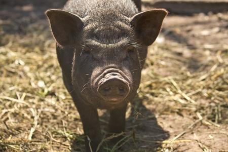 big black pig Vietnamese outdoors photo