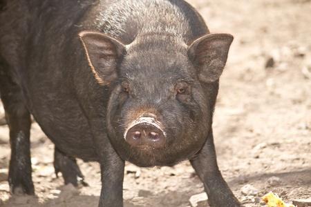 big black pig Vietnamese outdoors Stock Photo - 10998597