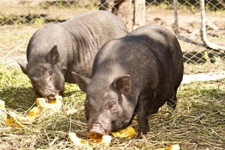 big black pig Vietnamese outdoors Stock Photo - 10998521
