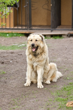 central asia shepherd dog: Central Asian Shepherd Dog in front of his enclosure
