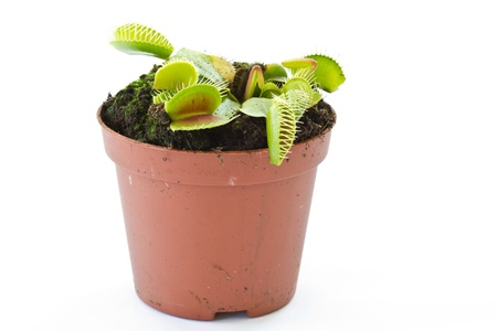 Dionaea mustsipula on a white background Stock Photo - 11068078