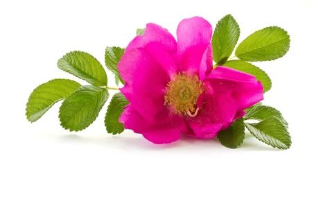 wilde roos bloem op een witte achtergrond Stockfoto