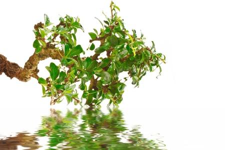 momiji: bonsai tree and its reflection in water