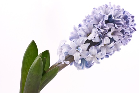 blooming hyacinth  isolated  on a white background photo