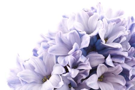bloeiende hyacint geïsoleerd op een witte achtergrond