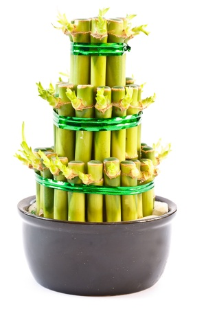 bamboo plant closeup isolated on white background photo