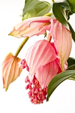 roze grote mooie bloem Medinilly dicht, Melastomataceae