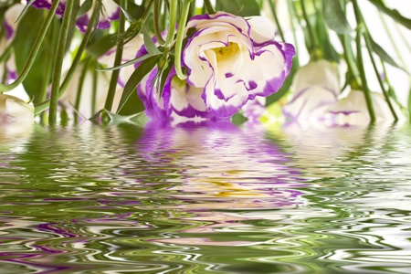 Lisianthus beautiful flowers in the reflection of water photo