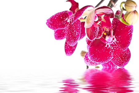 beautiful flower Phalaenopsis on a white background