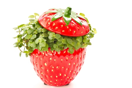 Ficus curling in a beautiful flower pot in a strawberry Stock Photo