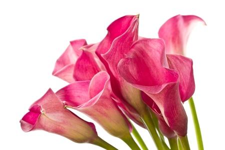 紅色馬蹄蓮美麗的花朵在白色背景上