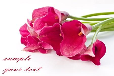 在白色背景上的紅色馬蹄蓮美麗的花