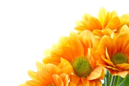 菊花橙色的花朵在白色背景