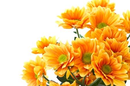 Chrysanthemum oranje bloemen op een witte achtergrond