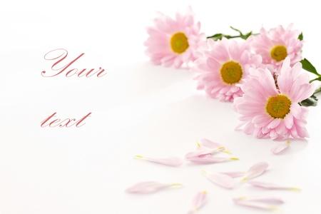 Beautiful pink chrysanthemums on white background