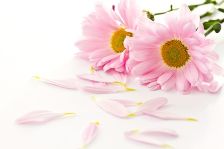 Beautiful pink chrysanthemums on white background photo