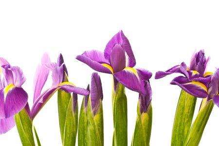 beautiful purple iris flower on a white background