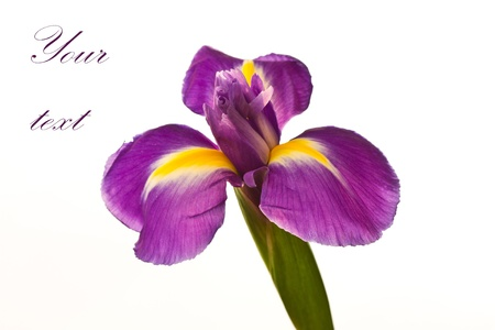 beautiful purple iris flower on a white background Stock Photo - 11554142