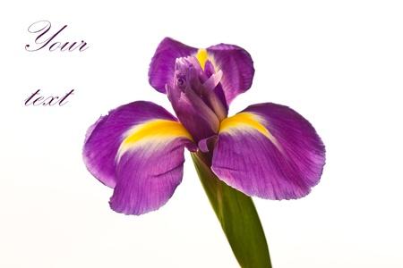 beautiful purple iris flower on a white background Stock Photo - 11554142