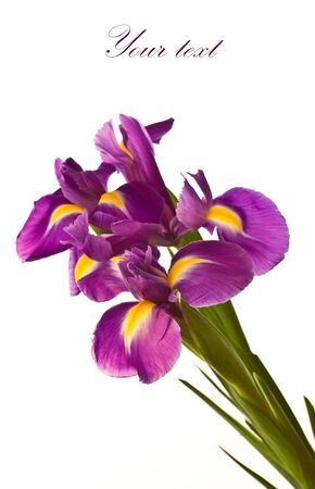 beautiful purple iris flower on a white background Stock Photo - 11554143