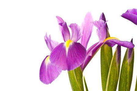beautiful purple iris flower on a white background Stock Photo - 11554115