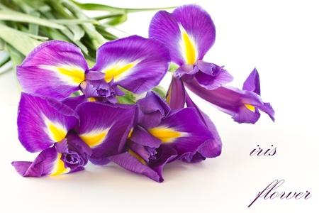iris blossom: beautiful purple iris flower on a white background