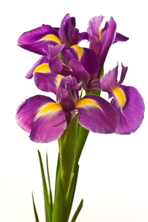 detail of bunch: beautiful purple iris flower on a white background