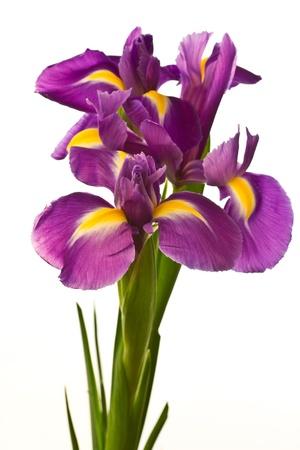 belle fleur pourpre d'iris sur un fond blanc