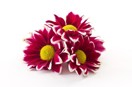 a bouquet of beautiful purple chrysanthemums on white background Stock Photo - 11554118