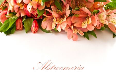 bouquet of pink alstroemeria on white background photo