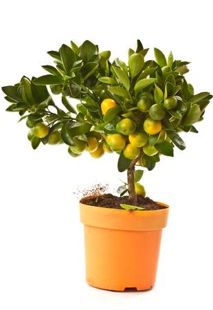 tangerine tree: tangerine tree with ripe and green tangerine Stock Photo