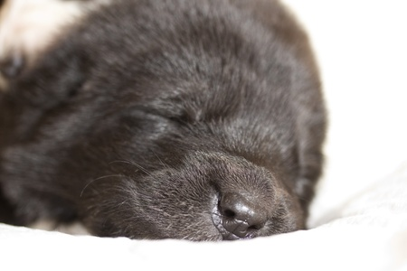 snout black puppy sleeping CAO closeup photo