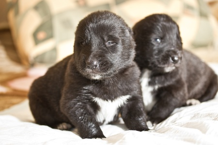 central asia shepherd dog: two black with white spots small puppy CAO Stock Photo