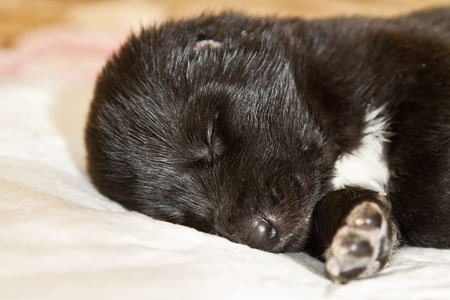 central asia shepherd dog: snout black puppy sleeping CAO closeup