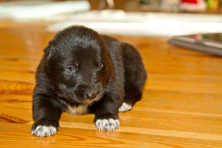 cute little puppy Central Asian Shepherd Dog Stock Photo - 11934818