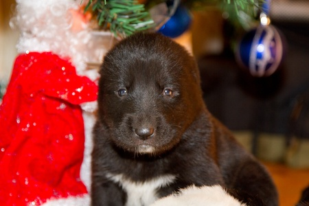 Central Asian Shepherd Dog puppy little under the Christmas tree photo