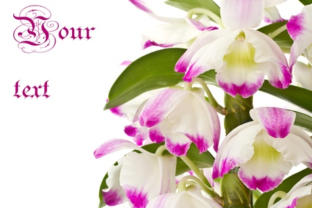 Beautiful blooming purple dendrobium on a white background photo