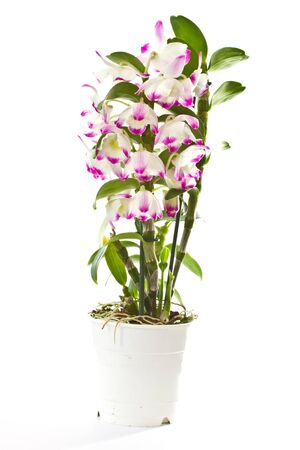 dendrobium: Beautiful blooming purple dendrobium on a white background